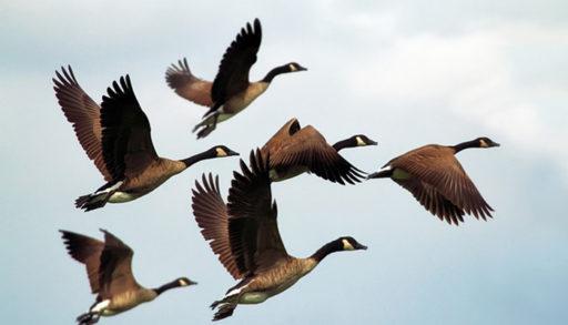 flock geese